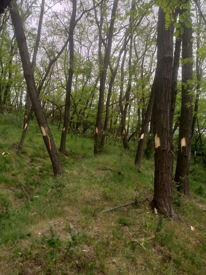 Padure salcami, leurda, Motru, copaci marcati, taiere, ocolul silvic